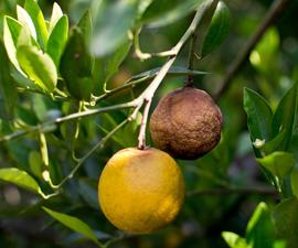 Apelsin angripen av Citrus Greening