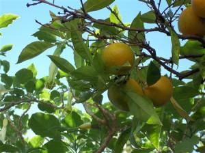 Apelsiner som blir frusen koncentrerad apelsinjuice (FCOJ)