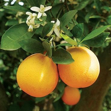 Apelsiner växer