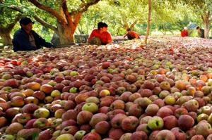 Äpplen, kan snart bli äppeljuice att handlas på termin