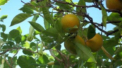 apelsiner-som-blir-frusen-koncentrerad-apelsinjuice-fcoj.jpg