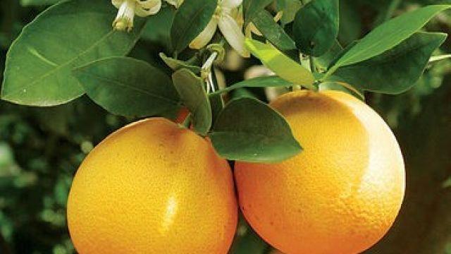 apelsiner-vaxer-blommor.jpg