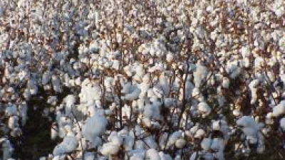 bomull-cotton-marknad.png