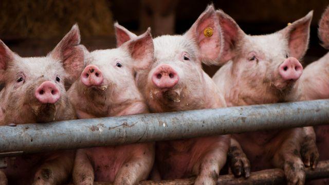 fyra-grisar.jpg