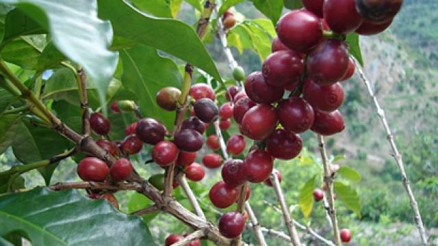 kaffe-i-naturlig-form.png