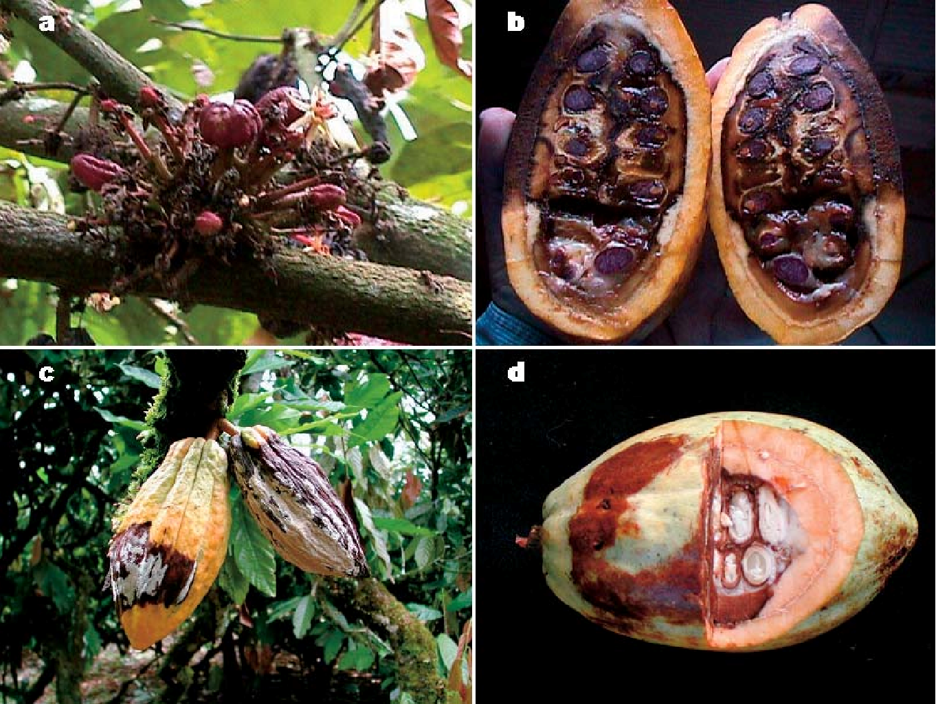 kakao-sjukdomar.png