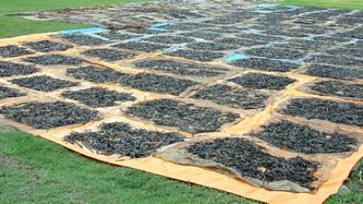 kryddan-vanilj-produceras.png