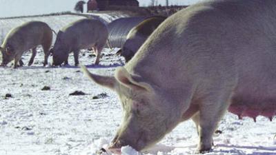 lean-hogs-vinter.png