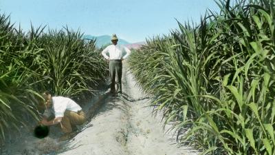 odling-av-sockerror.png
