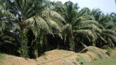 palmolja-bioenergi-mat-regnskog.png