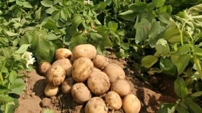 potatis-i-jord.png