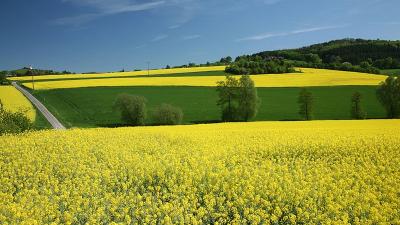 raps-jordbruk-gyllene-ravara.png