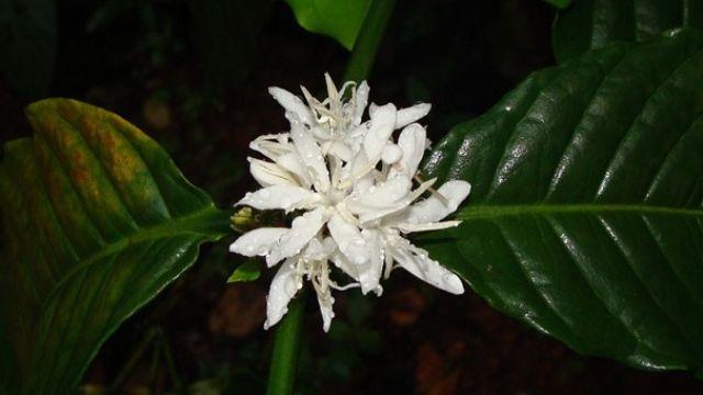robusta-kaffe-blomma.jpg