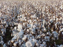 Bomull - En marknad av fiber