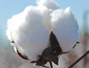 Bomull från Indien - Nu utan exportskatt
