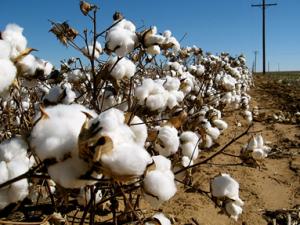 Kommande fall för bomullspriset?