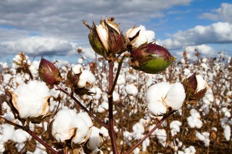 Bomull växer på odling