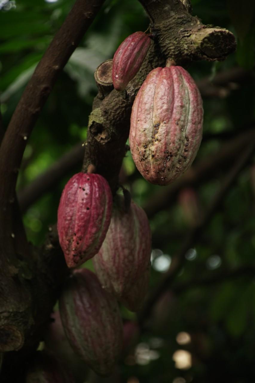 Mogen kakao på träd