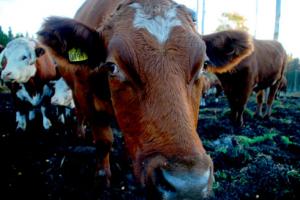 Djur blir mat och hudar