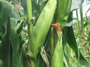 Kina ökar efterfrågan på majs - Priset på råvaran stiger