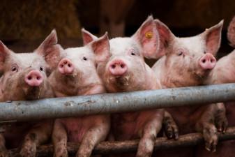 Kinesiska grisar är anledningen att gå lång i majs