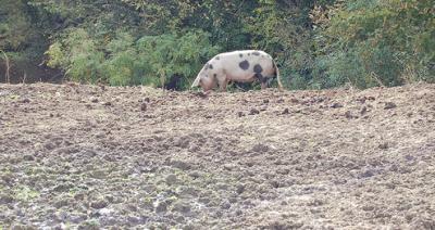 Intresset för handel med griskött ökar i Brasilien
