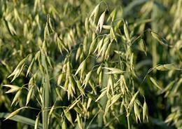 Havre (oat) - Ett ogräs som blev en handlad råvara