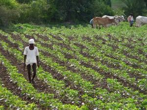 Odling av bomull i Indien