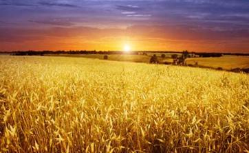 WASDE visar på ökade spannmålslager och minskad konsumtion