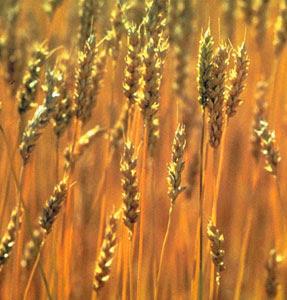 Jordbruksrapport från USDA visar på dålig kvalitet