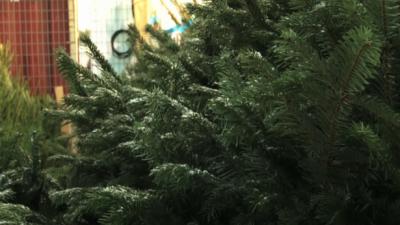 Brist på julgranar ger rekordhöga priser