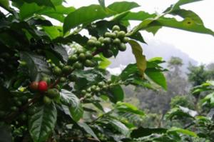 Investera i kaffe via ETF-fonder och ETN