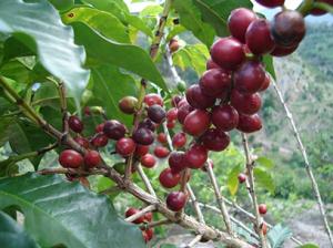 Kaffe i naturlig form - Pris varierar