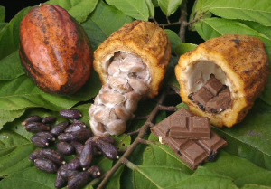 Råvaran kakao, choklad, bönor och frukten