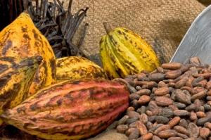 Kakao - frukt och bönor - som blir choklad