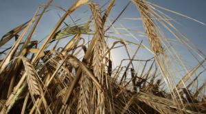 Minskad efterfrågan på sädesslagen korn och havre