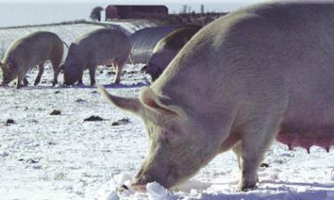 Virus ger högre pris på gris