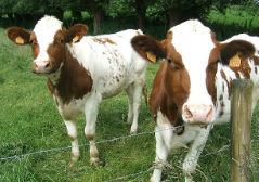 Pris på termin för levande boskap, nötkreatur, live cattle (LE)