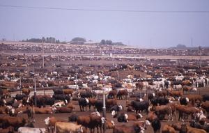 Livestock - Levande boskap