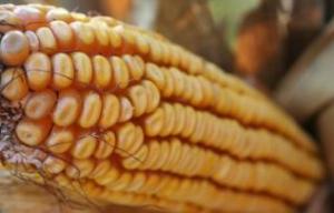 Amerikansk majs - Allt större produktion