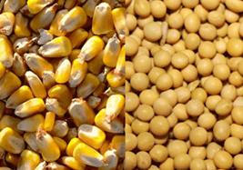 Majs och sojabönor - Olika skördar