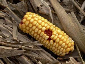 Är det dags att sälja majs?