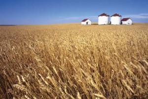 Veteskördar är mindre och sämre, vilket får vetepriset att stiga