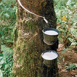 Naturgummi samlas in från Para-gummiträd