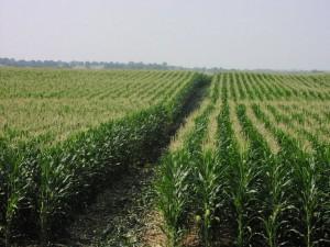 Odling av majs fyller på lagren