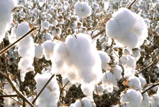 Kommande veckor styr bomullspriset
