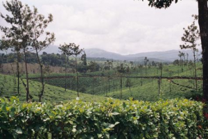 Odling i Indien - Mot cafémarknaden