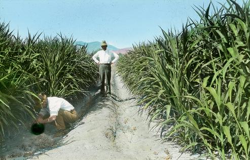 Odling av sockerrör