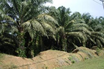Palmolja, ökat välstånd på bekostnad av regnskogen?
