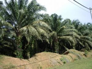Palmolja odlas för att bli mat och energi